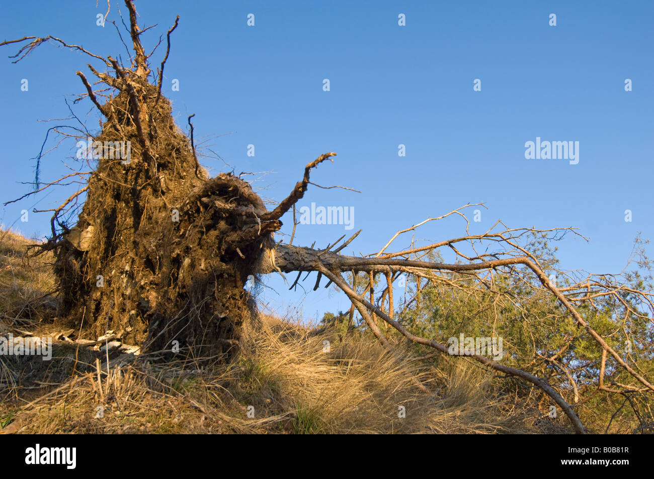 disroot disrooting disrooted TREE uproot uprooting uprooted roots - Stock Image
