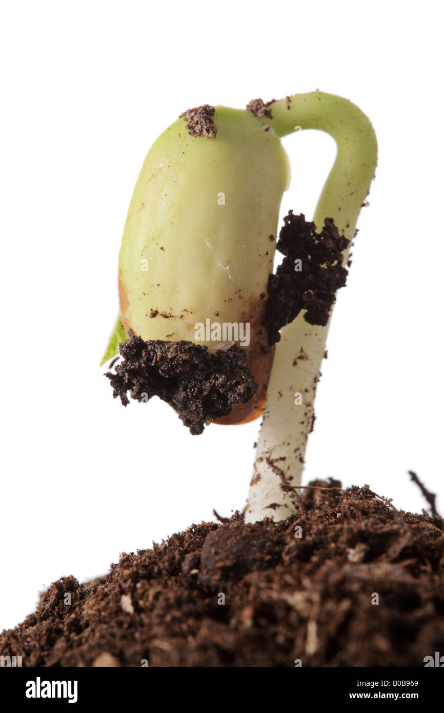 Plant emerging from the ground - Stock Image