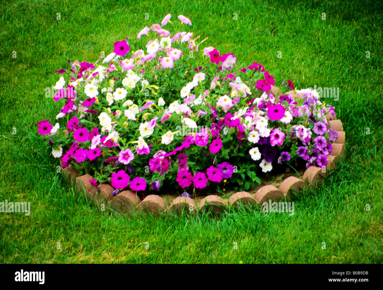 Delicieux Patch Of Petunias Flowers On Green Loan Garden Patch Grow