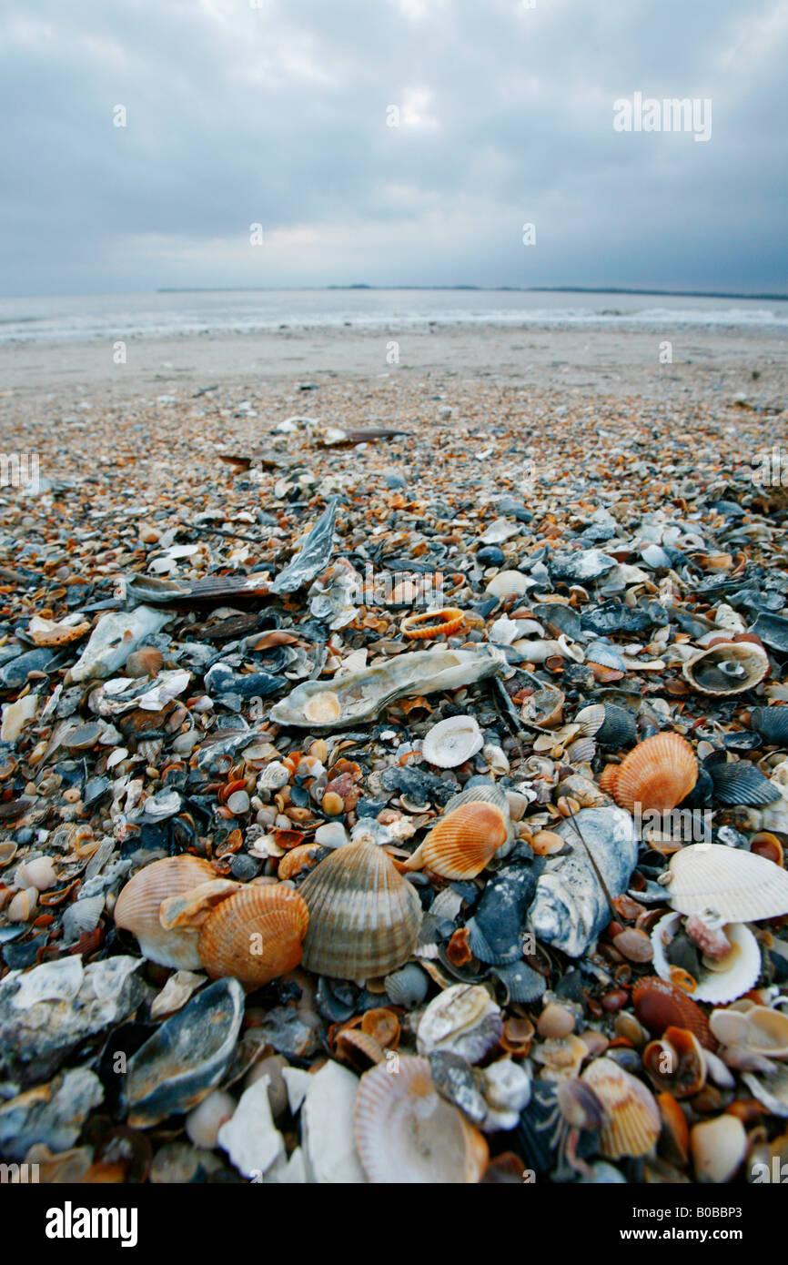 Shells On Edisto Beach, South Carolina Coast Near