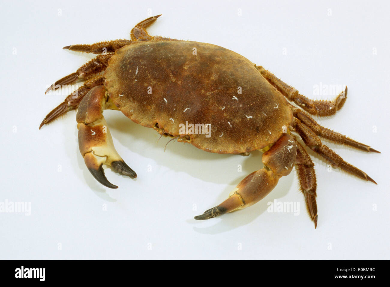 Edible Crab, Cromer Crab (Cancer pagurus), studio picture - Stock Image