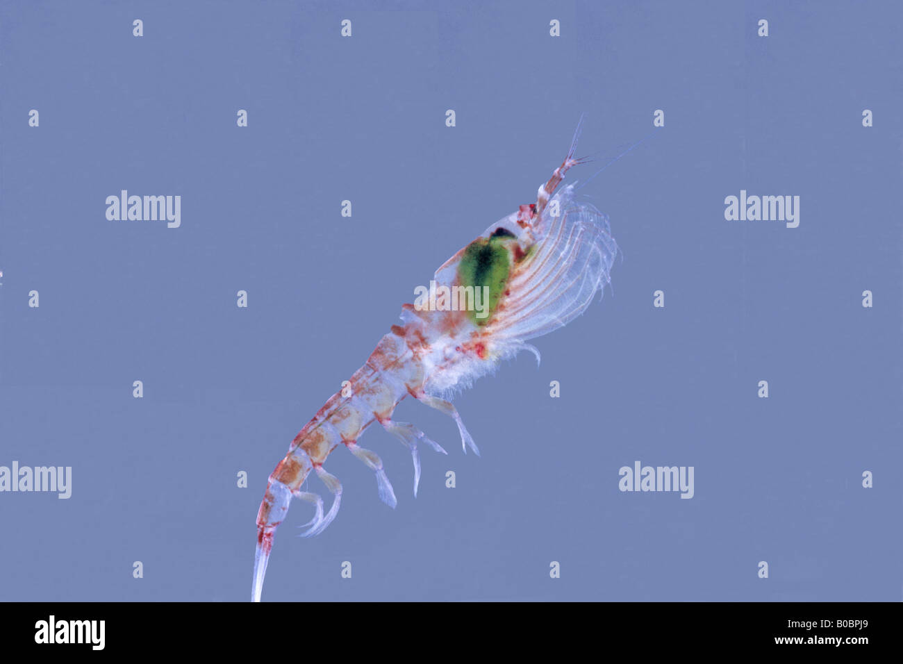 Giant Antarctic Amphipod (Eusirus sp.), up to 4 cm long - Stock Image