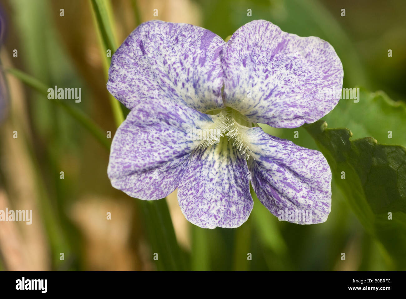 Dark Freckles /& Rubra Viola sororia Perennial Garden Violet