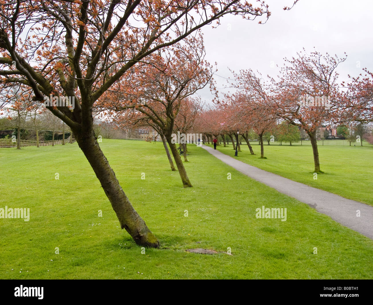 Effect of prevailing winds on an avenue of ornamental trees in Harrogate parkland - Stock Image
