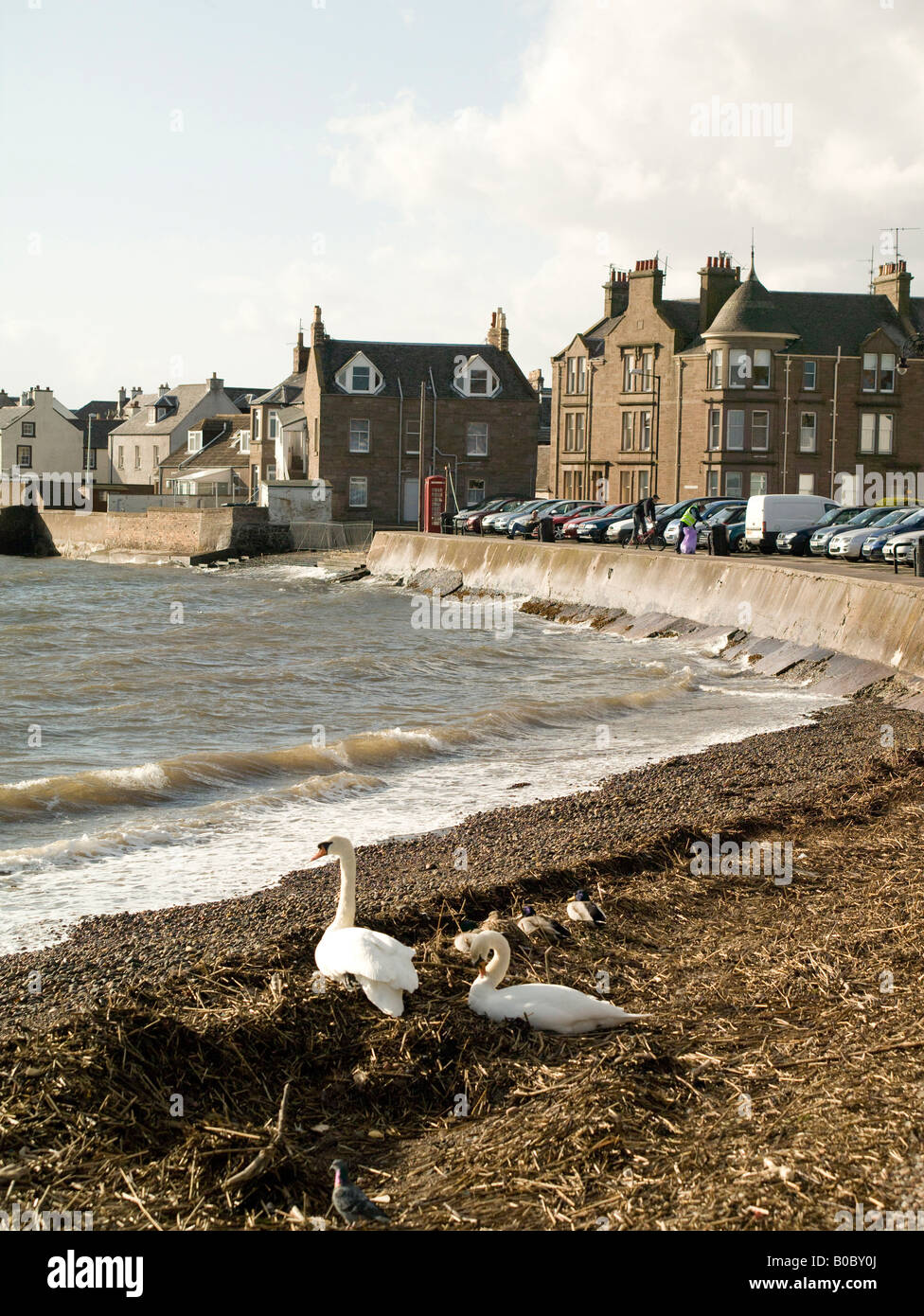 Swans on the shore at Broughty Ferry, Dundee, Tayside, Scotland - Stock Image