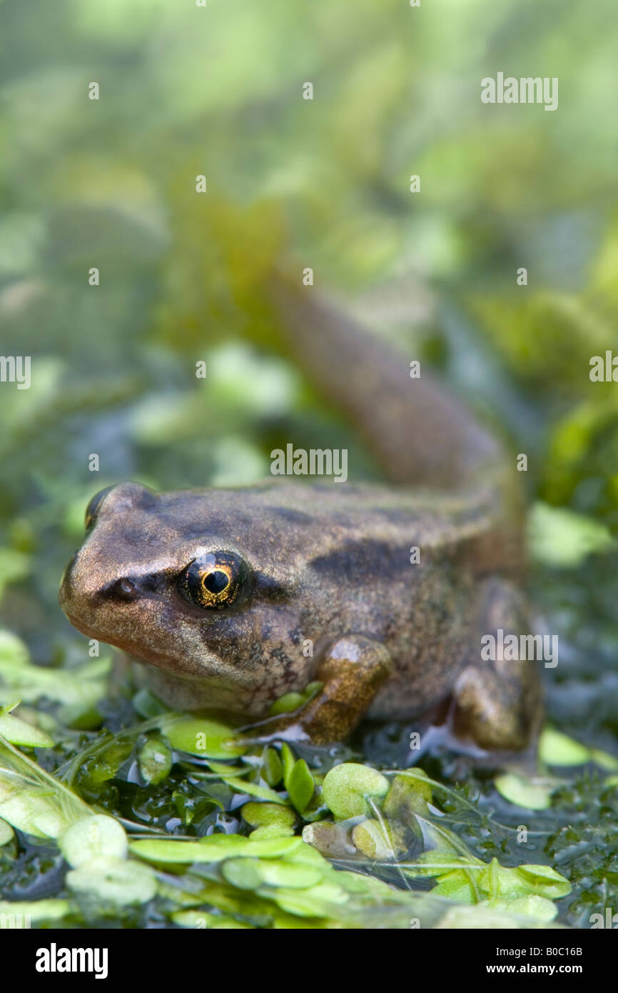tadpole Rana temporaria about to become a frog cornwall - Stock Image