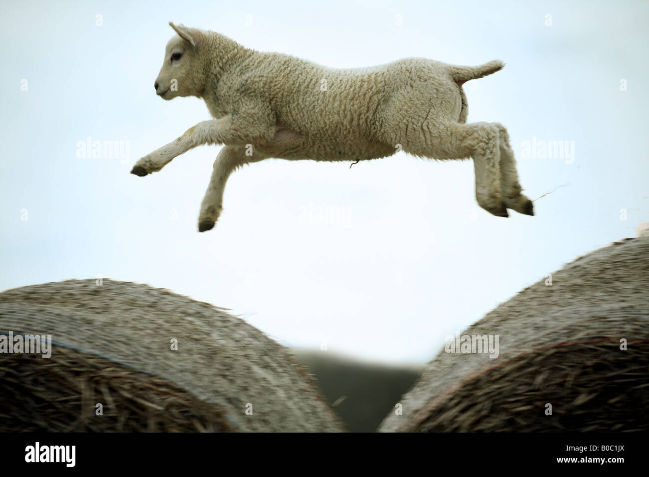 Leaping Lamb High Resolution Stock Photography And Images Alamy