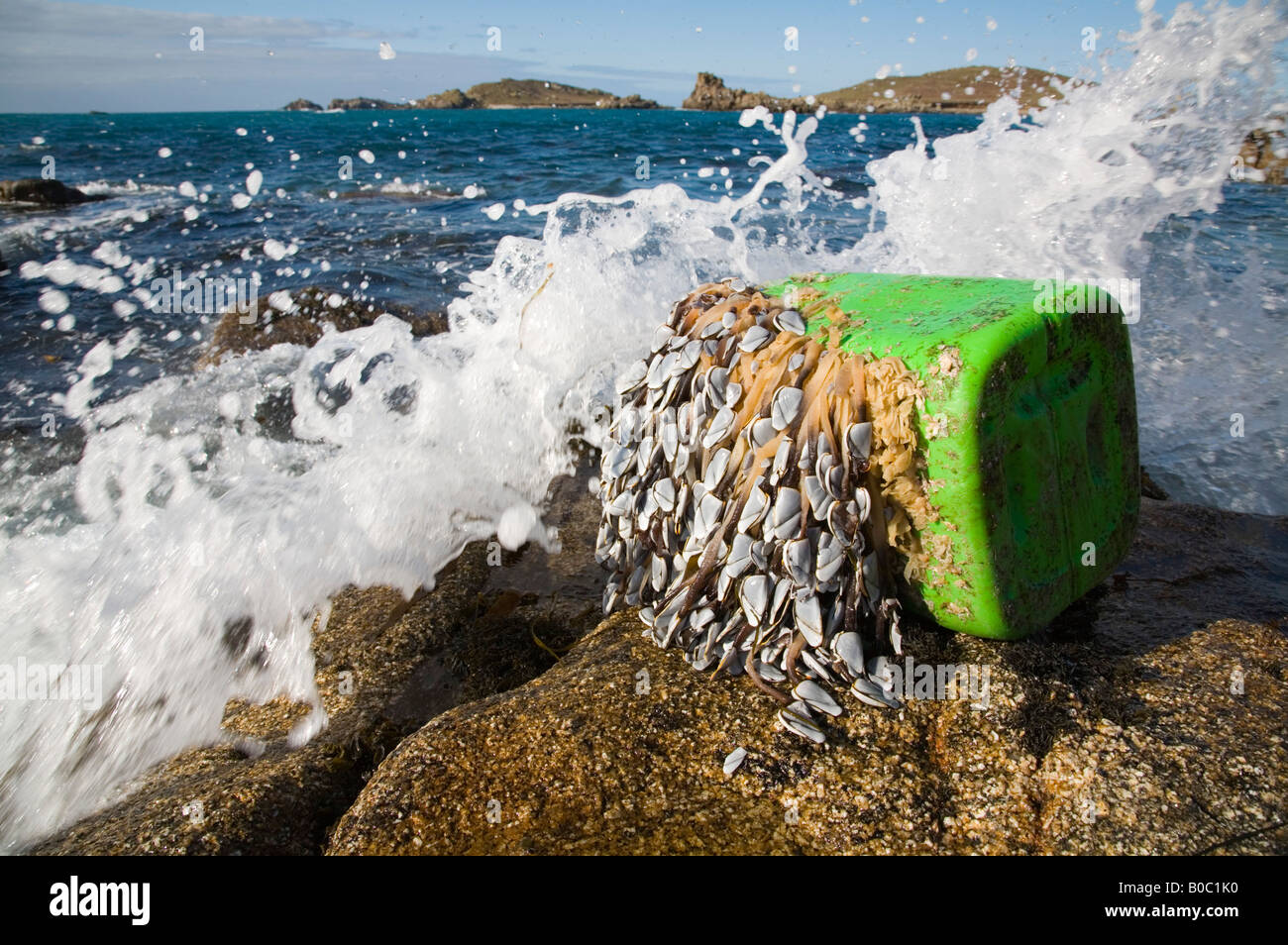 goose barnacles Lepas anatifera attached to debris and washed up on bryher isles of scilly - Stock Image