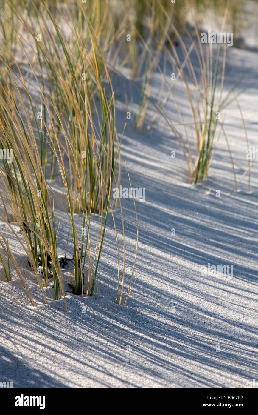 marram grass Ammophilia arenaria sand dunes cornwall - Stock Image