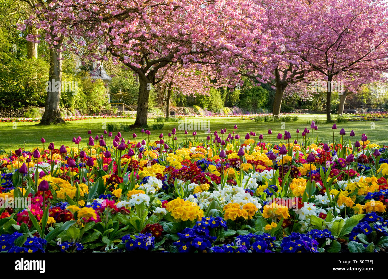 Cherry blossom and tulip stock photos cherry blossom and tulip spring flower beds of tulips and primulas with flowering cherry trees in the town gardens mightylinksfo