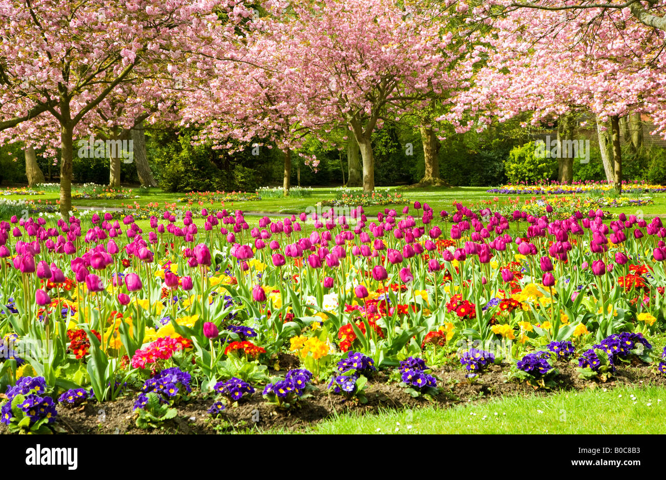 Spring flower beds of tulips and primulas with flowering cherry trees in the Town Gardens, Swindon, Wiltshire, England, - Stock Image