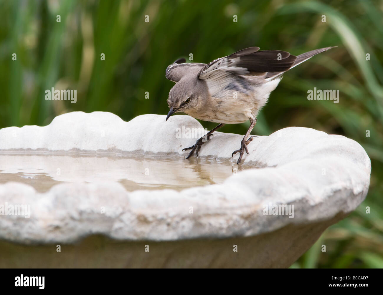 A Northern Mockingbird, Minus polyglollos, is poised to jump in a bird bath and bathe. Stock Photo