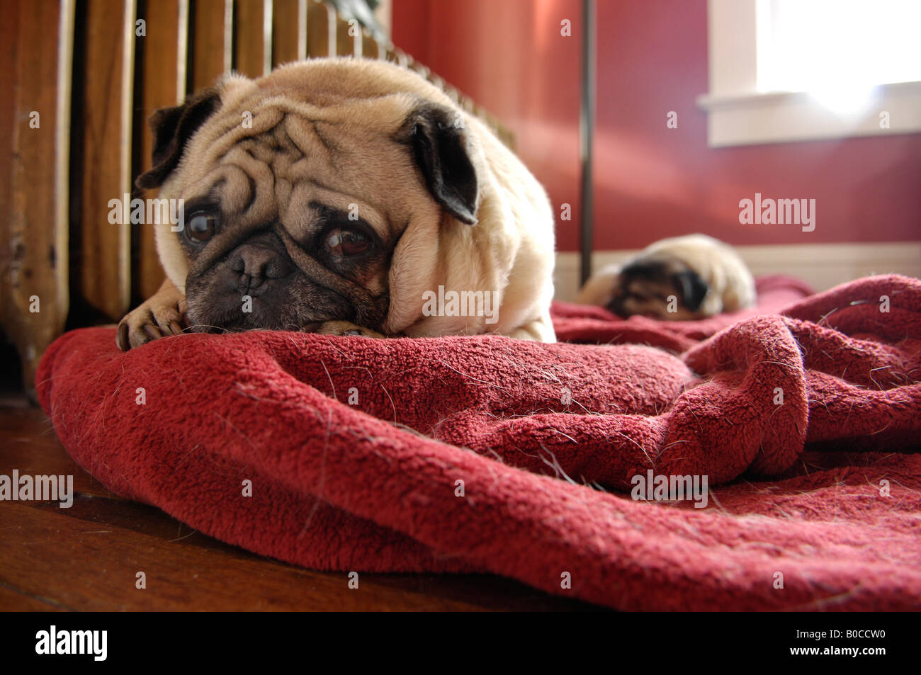 Two sleeping pug dogs on red blankets - Stock Image