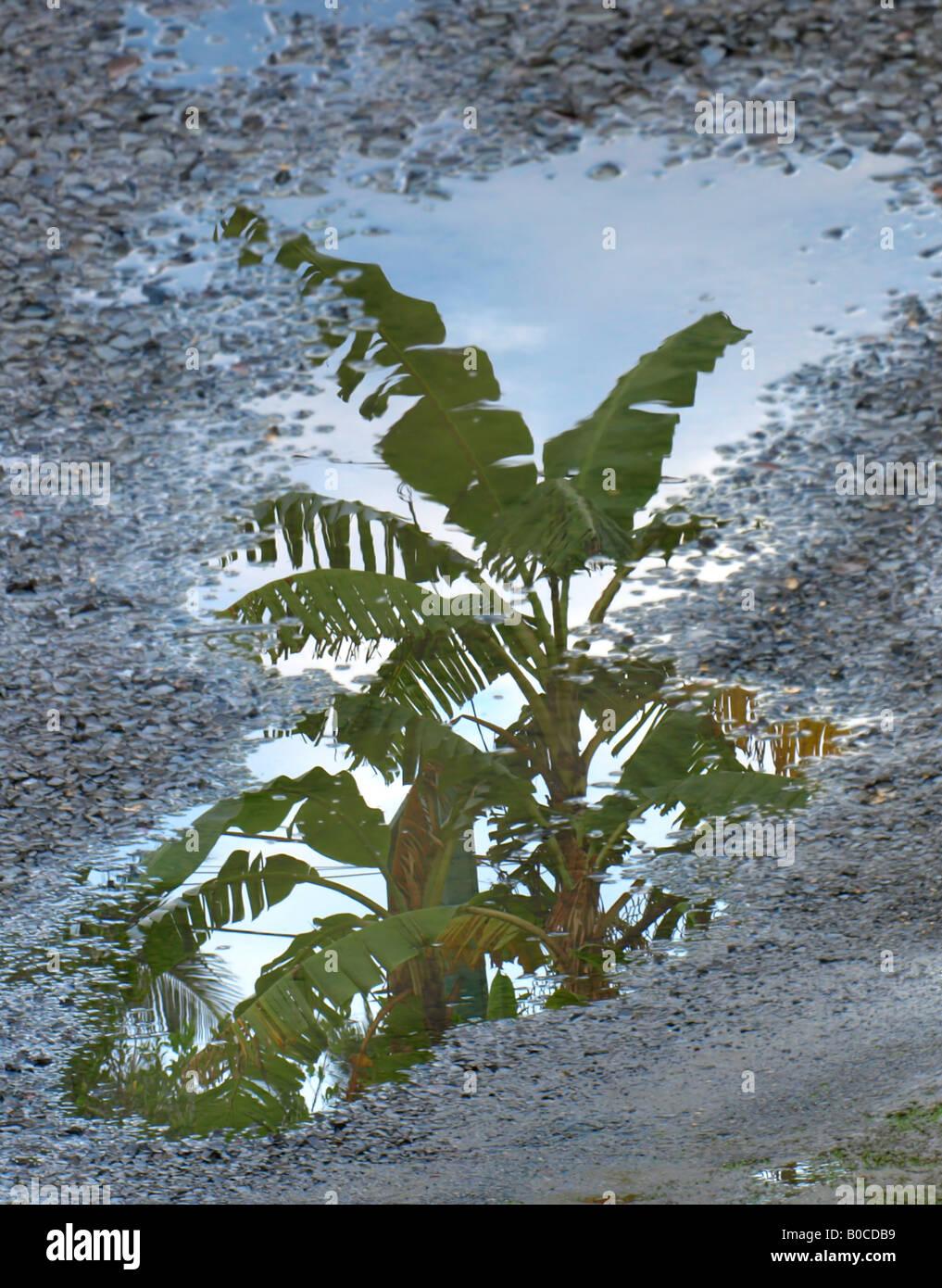 banana tree reflexion - Stock Image
