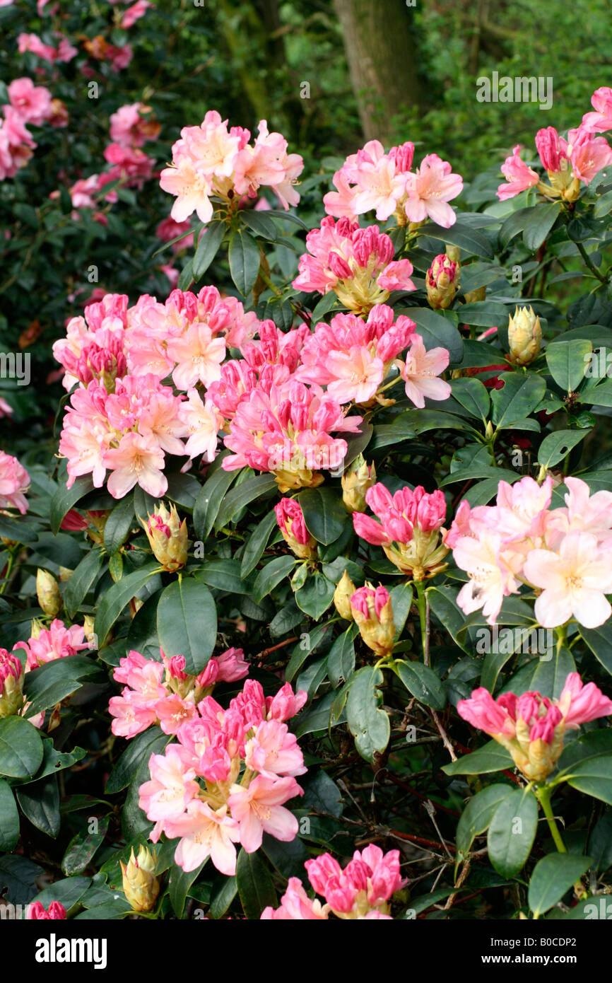 RHODODENDRON PERCY WISEMAN AGM - Stock Image