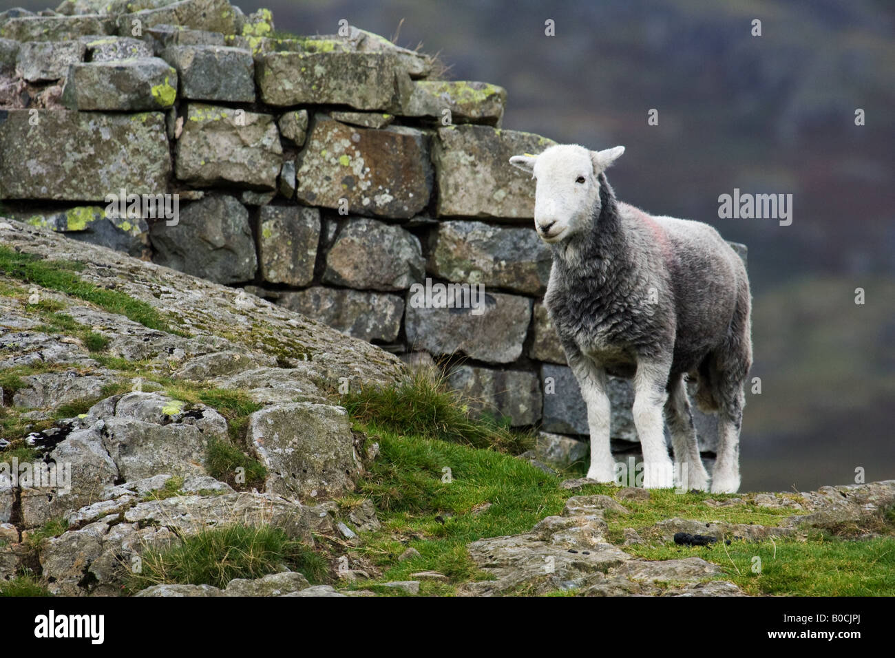 Herdwick sheep at Hard Knott Fort in the English Lake District. Stock Photo