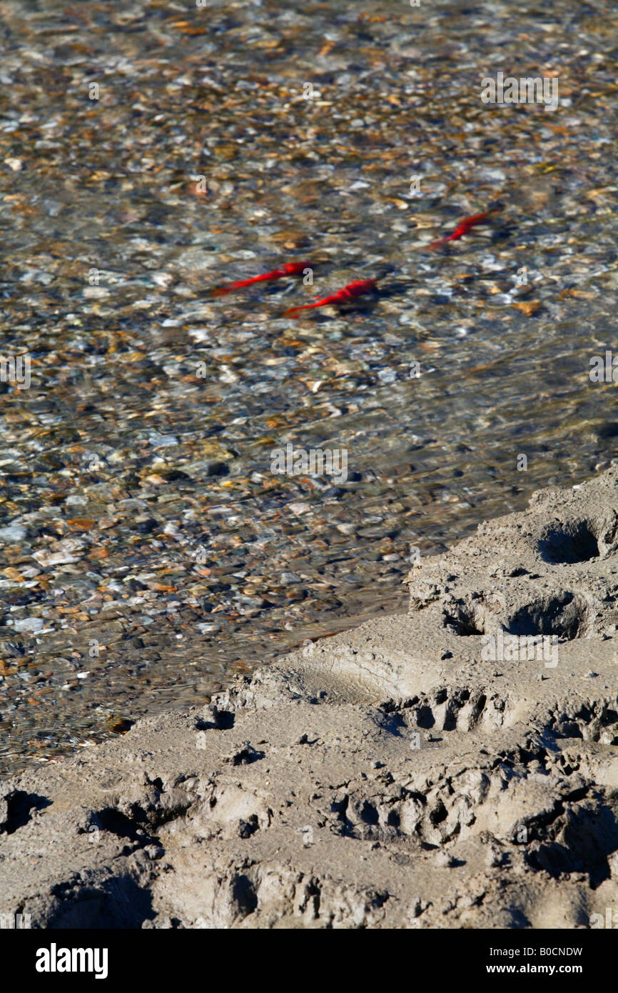 Grizzly bear tracks along a river with spawning kokanee salmon in it Kootenays British Columbia Canada - Stock Image