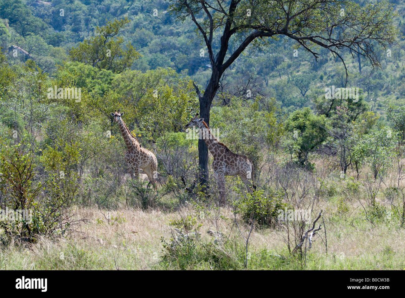 Giraffes in Mopane Bushveld, Kruger NP - Stock Image