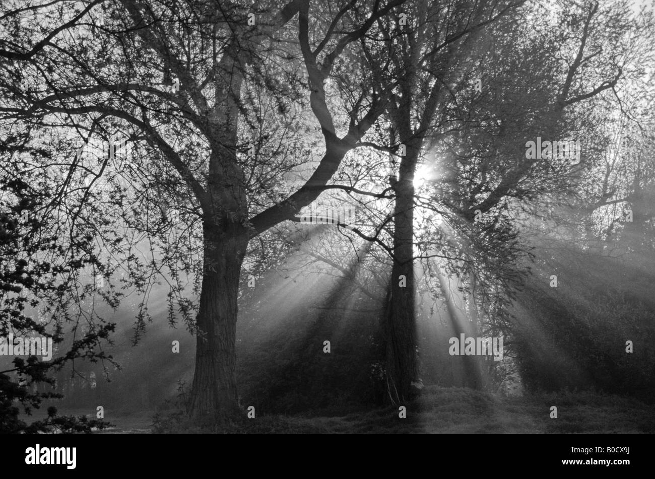 Sun Rising Through Trees in Black and White - Stock Image