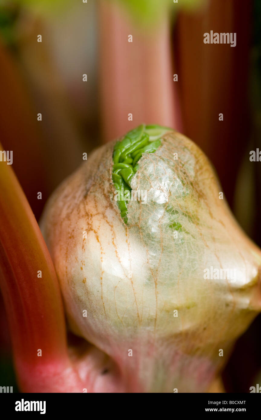 Young rhubarb leaf growing from crown Stock Photo