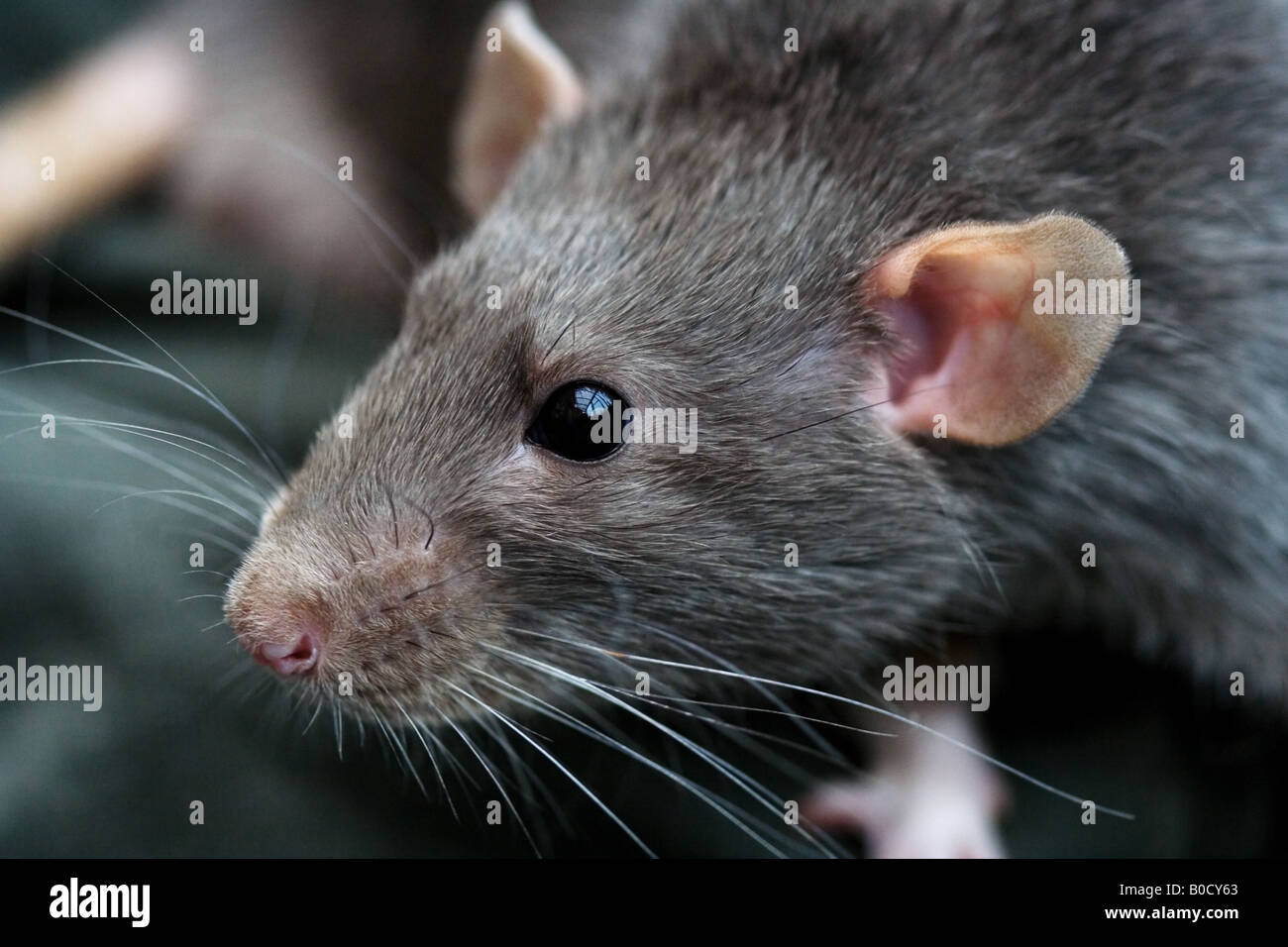 Grey rat - domestic pet.  Diagonally composed head and shoulders portrait with a blurred backgound. - Stock Image
