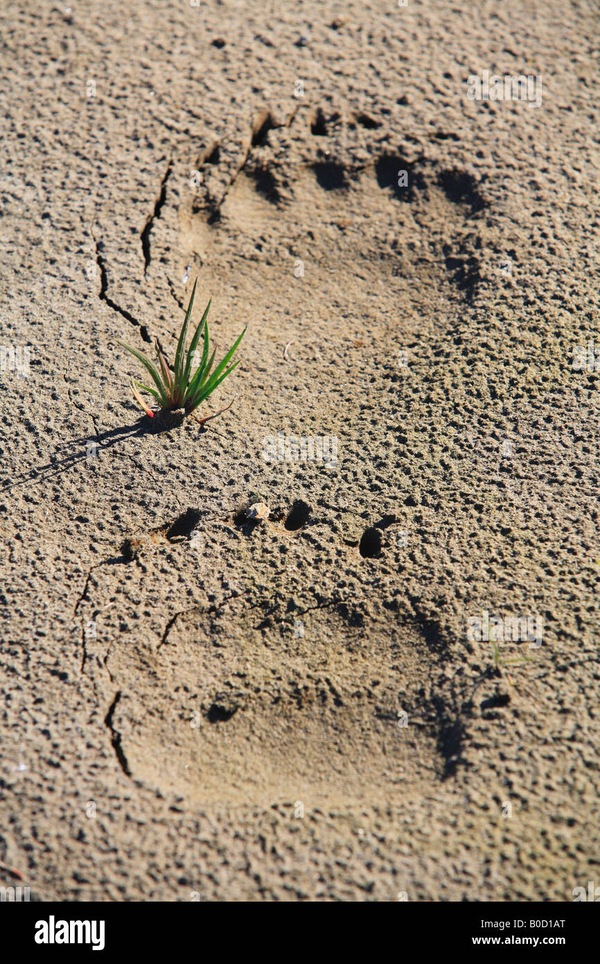 Grizzly bear tracks prints in the sand - Stock Image