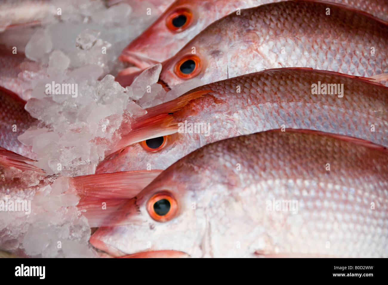 Fresh Red Snapper fish - Huachinango in Spanish - packed in ice for sale in market stall in Puebla, Mexico. Stock Photo