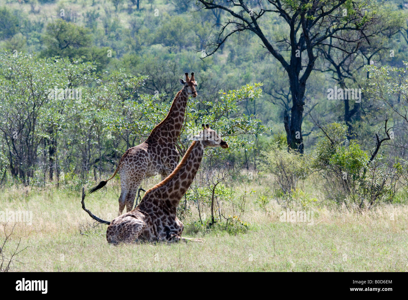 Giraffes Resting in Mopane Bushveld, Kruger NP - Stock Image
