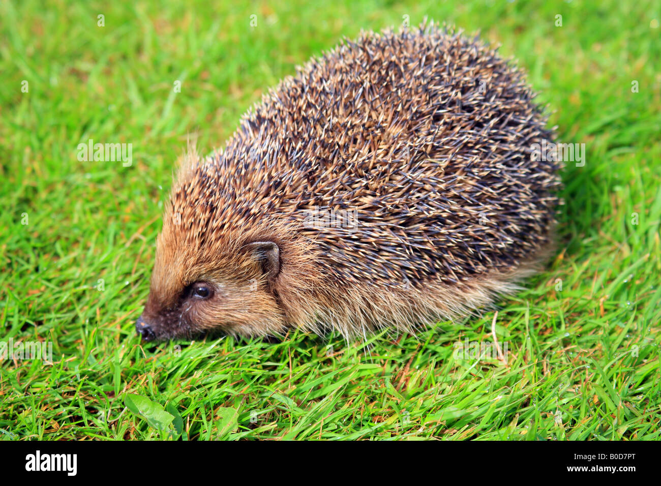 Hedgehog on grass lawn during the day in Kent England - Stock Image