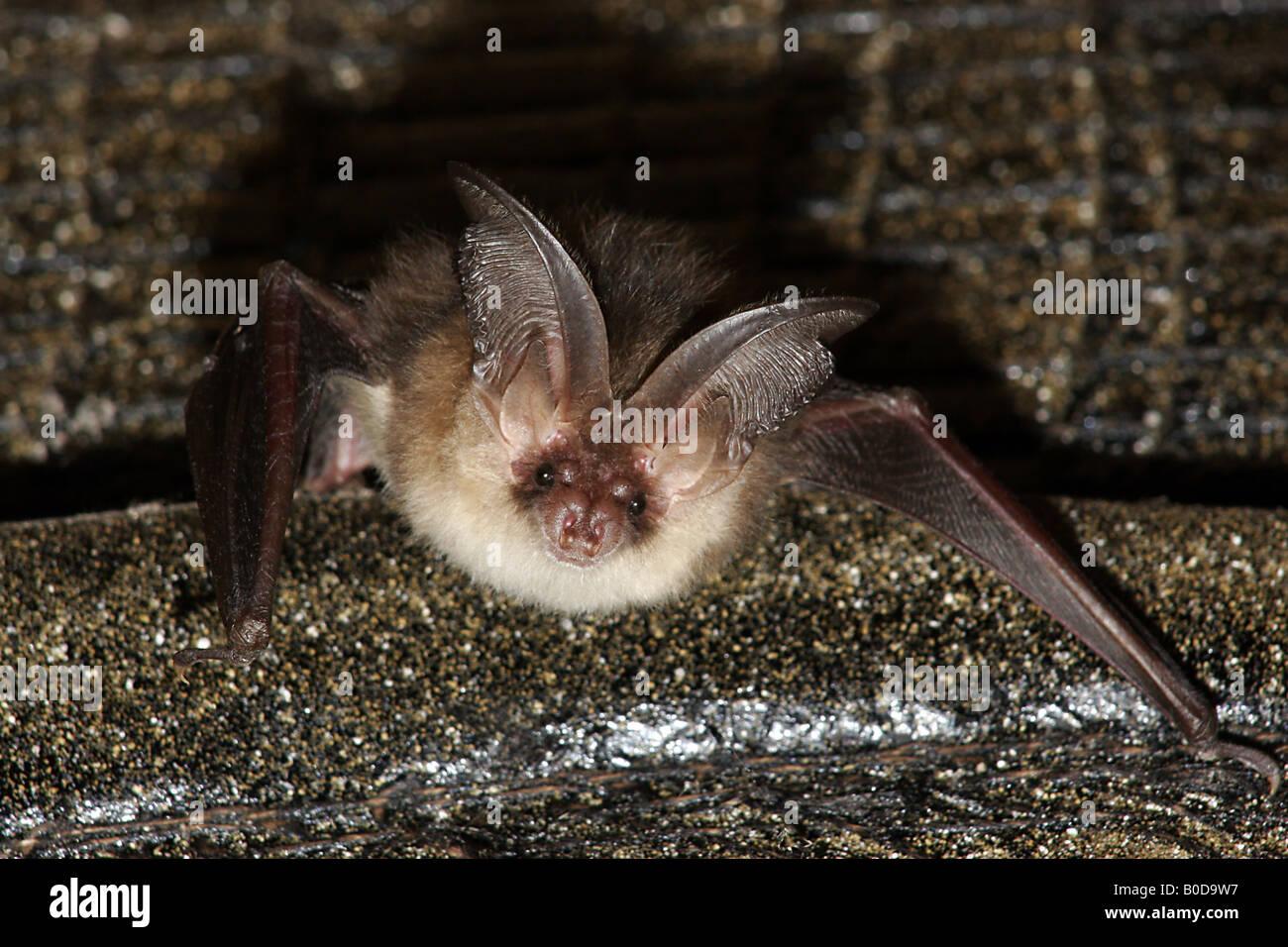 Long Eared Bat - Stock Image