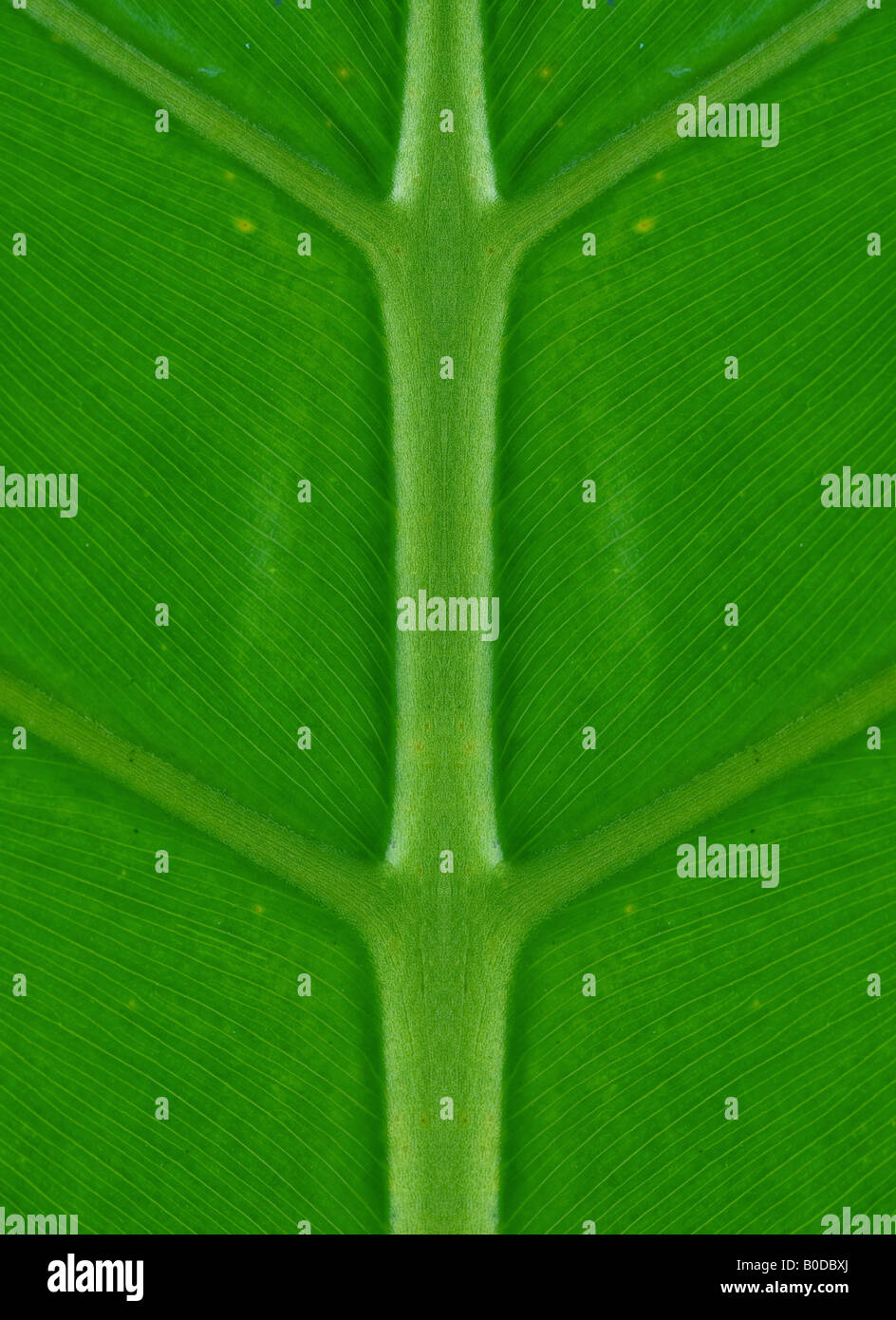 perfectly symmetrical green palm leaf nature background - Stock Image