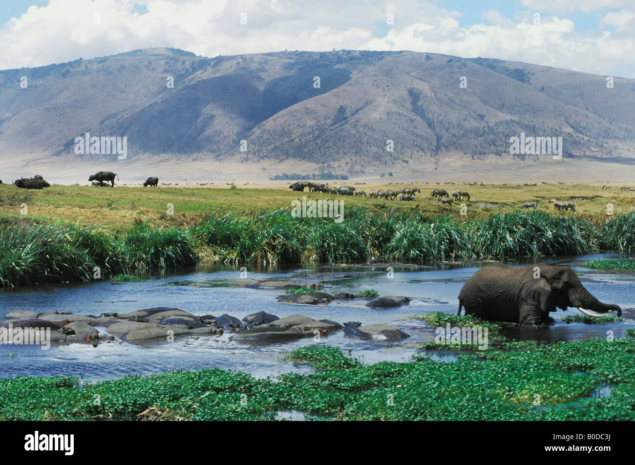 Elephant feeds in Hippo pool at Ngorongoro Crater in Tanzania Africa - Stock Image