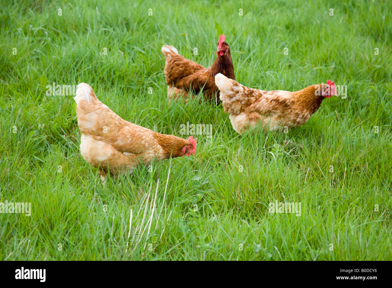 Freerange organic chickens Hampshire England - Stock Image