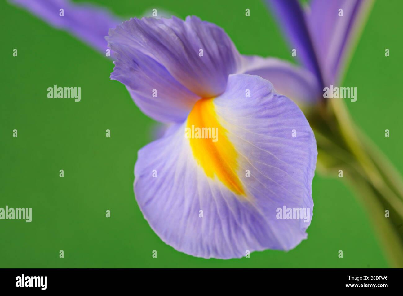 Iris flower bud stock photos iris flower bud stock images alamy iris flower stock image izmirmasajfo