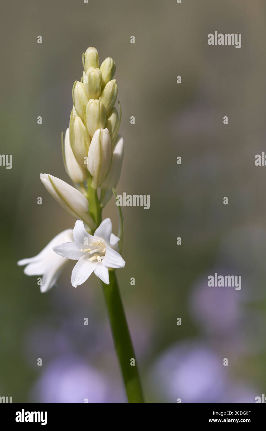 Closeup of white Spanish bluebell (hyacinthoides hispanica) coming into flower. - Stock Image