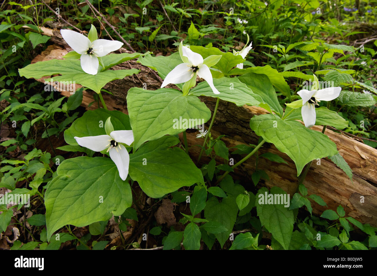 Sweet White Trillium Growing on the Roaring Fork Motor Nature Trail Great Smoky Mountains National Park Tennessee - Stock Image
