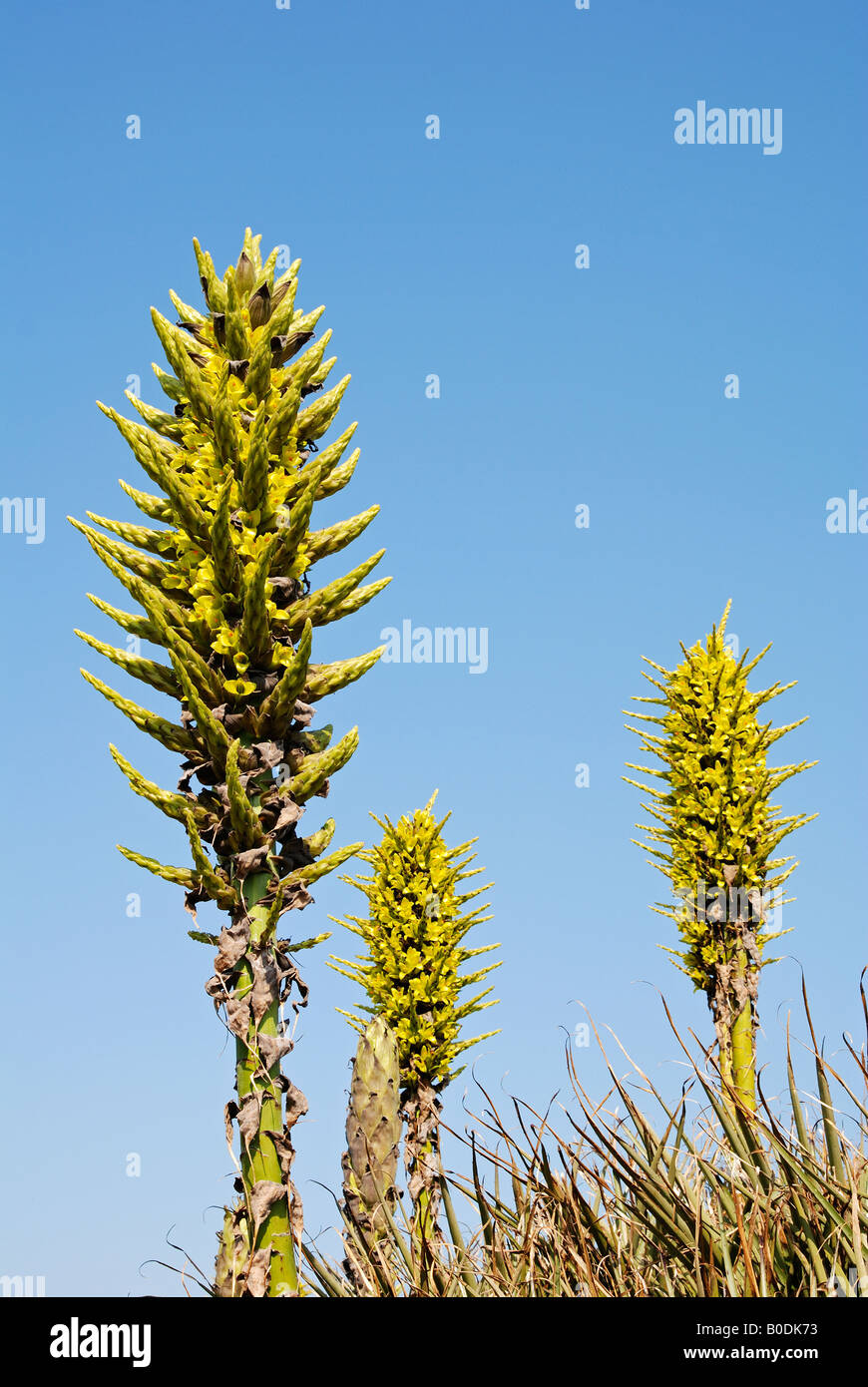 a puya chilensis plant in flower at st.marys gardens,falmouth,cornwall,england - Stock Image