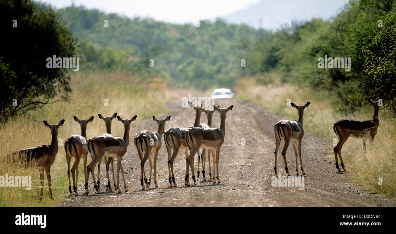 Herd of impala watching an approaching car in a game reserve - Stock Image