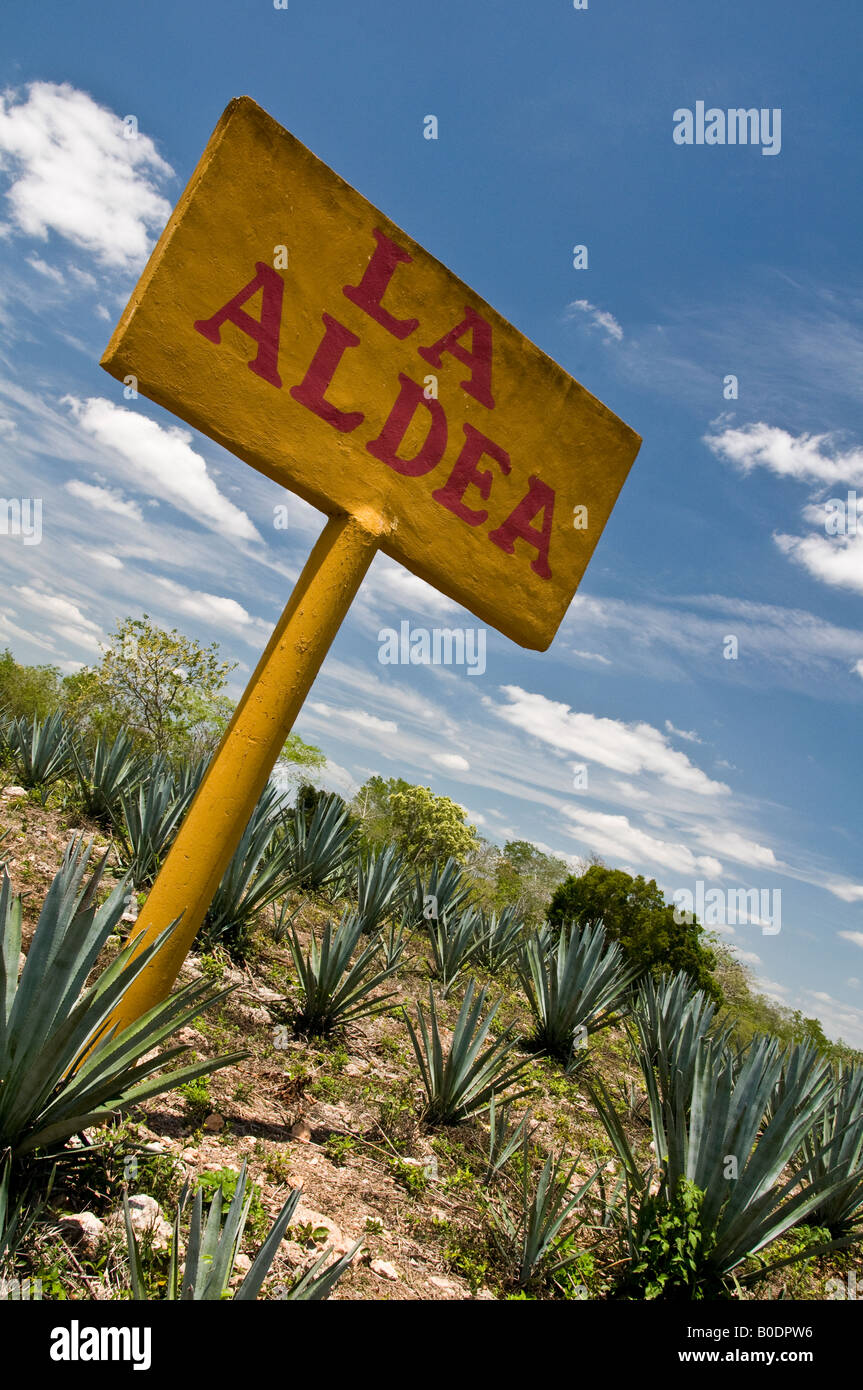 field of agave (maguey) cacti plants in yucatan, mexico - Stock Image