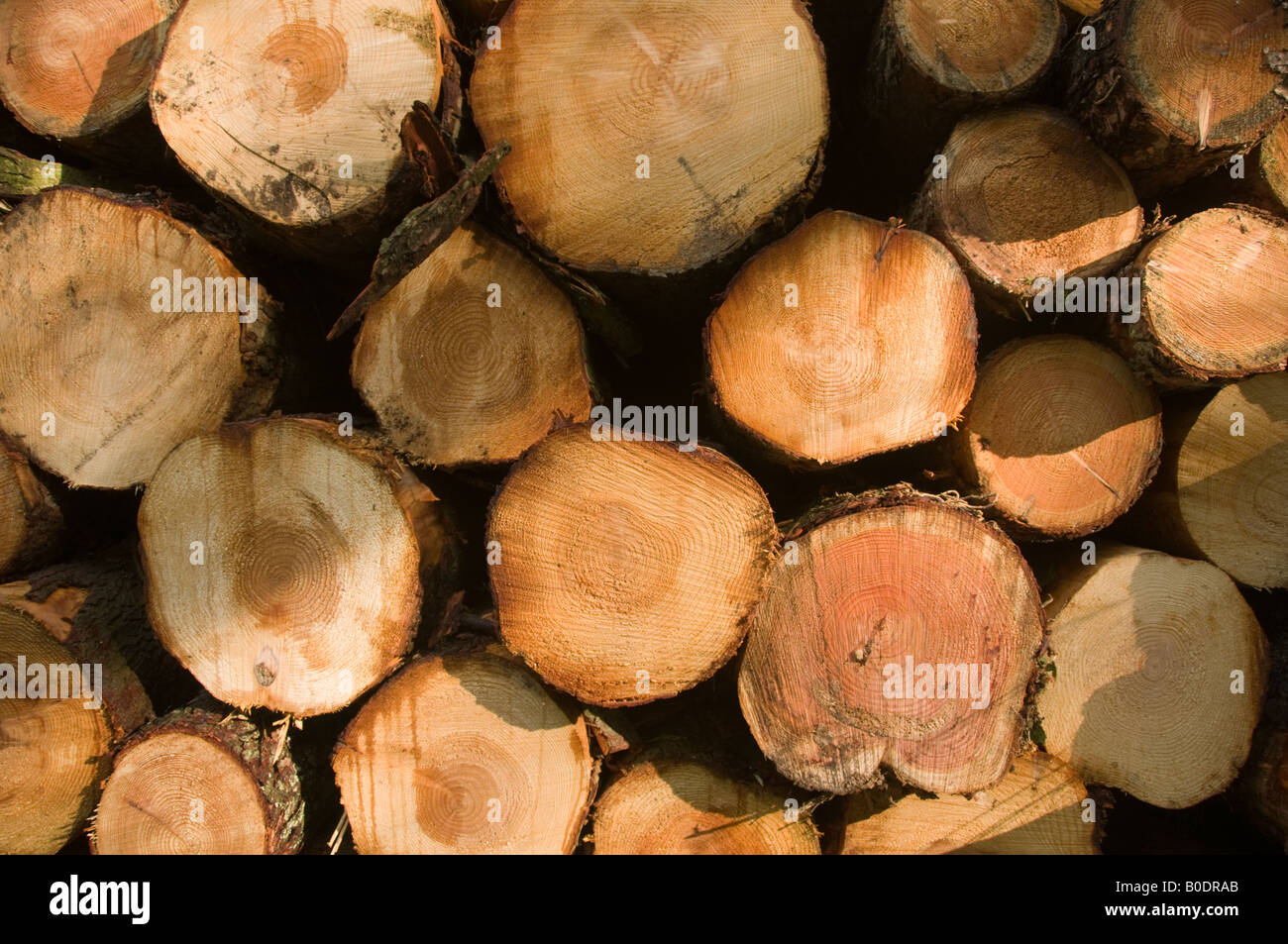 harvested soft wood cut into lengths and stacked in piles ready for collection and delivery to sawmill - Stock Image