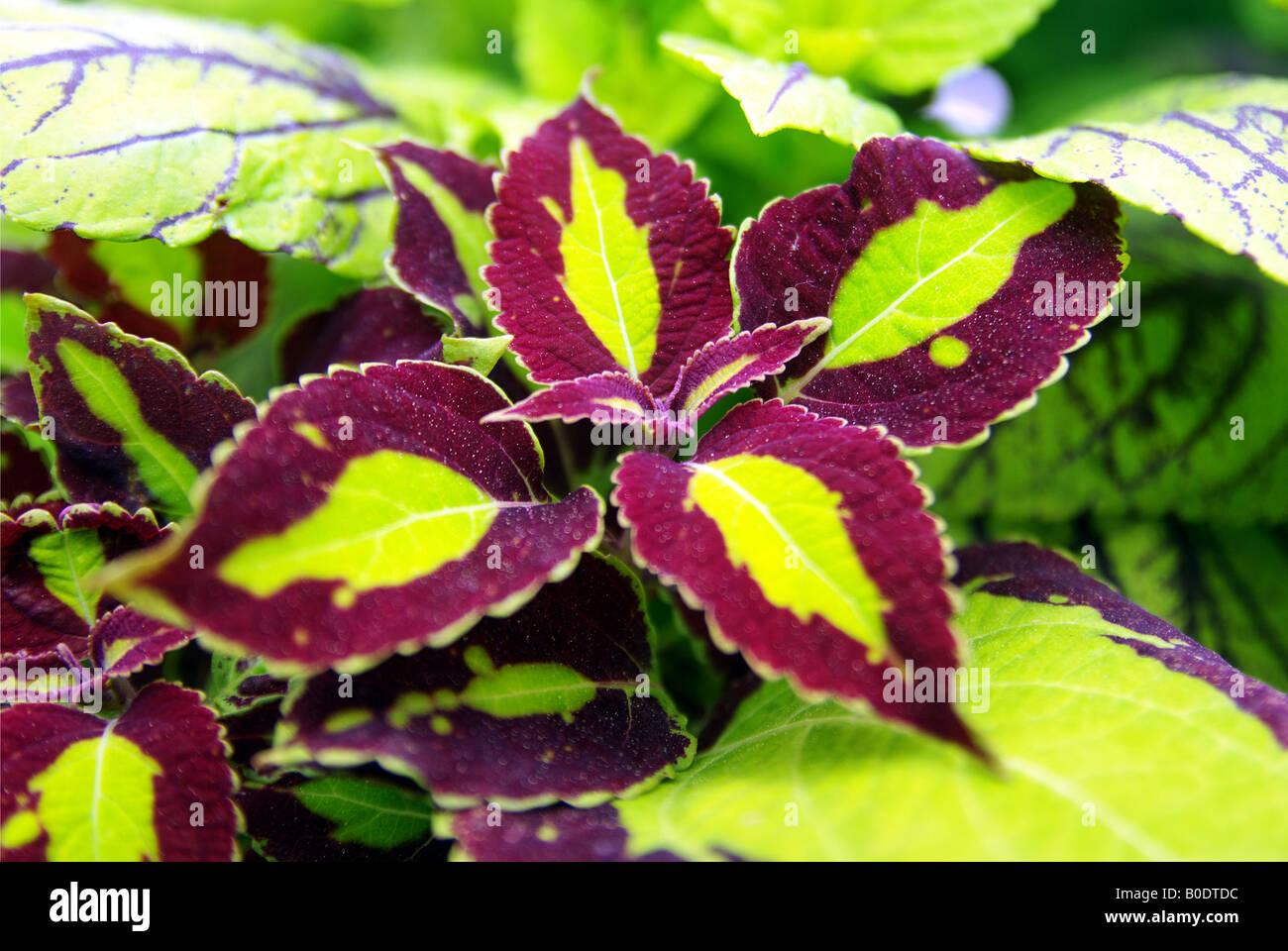 Bright Green And Purple Leafy Coleus Plant In The Sun Stock Photo Alamy