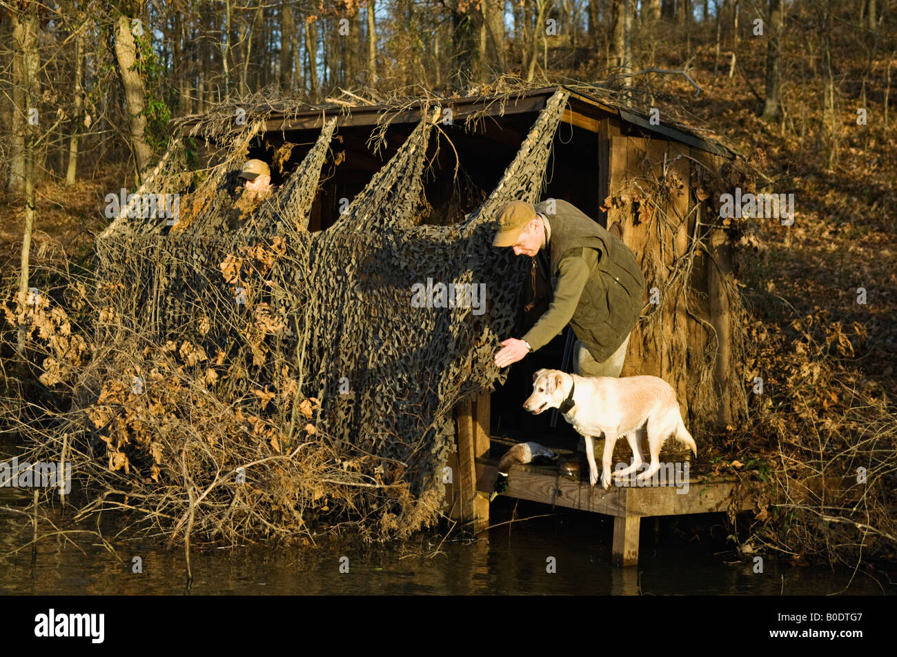 Duck Hunter Giving a Yellow Labrador Retriever a Line in Order to make a Retrieve on a Downed Mallard - Stock Image