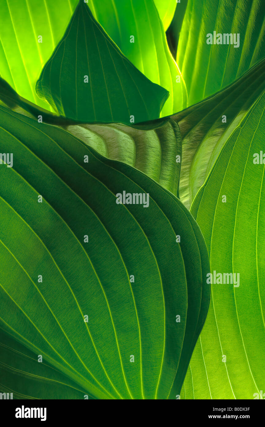 Hostas Curved Leaves Detail In Garden Stock Photo