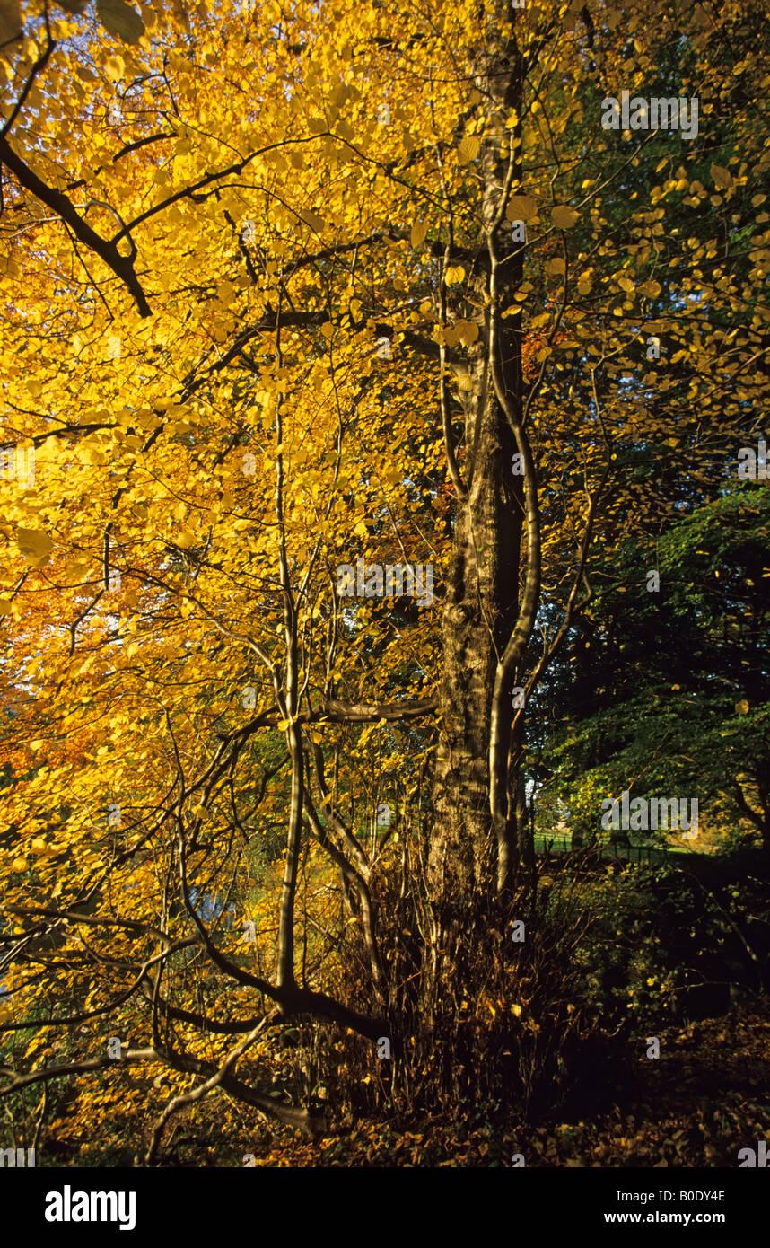 Large leaved lime trees Tilia cordata in brilliant Autumn colour Stock Photo