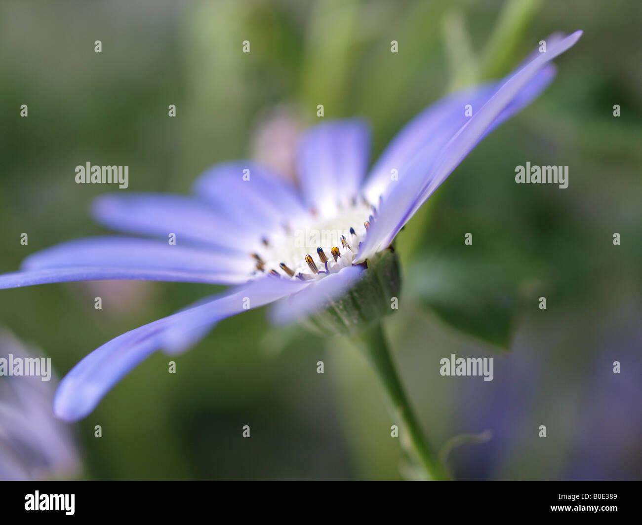 lilac senetti flower in garden - Stock Image