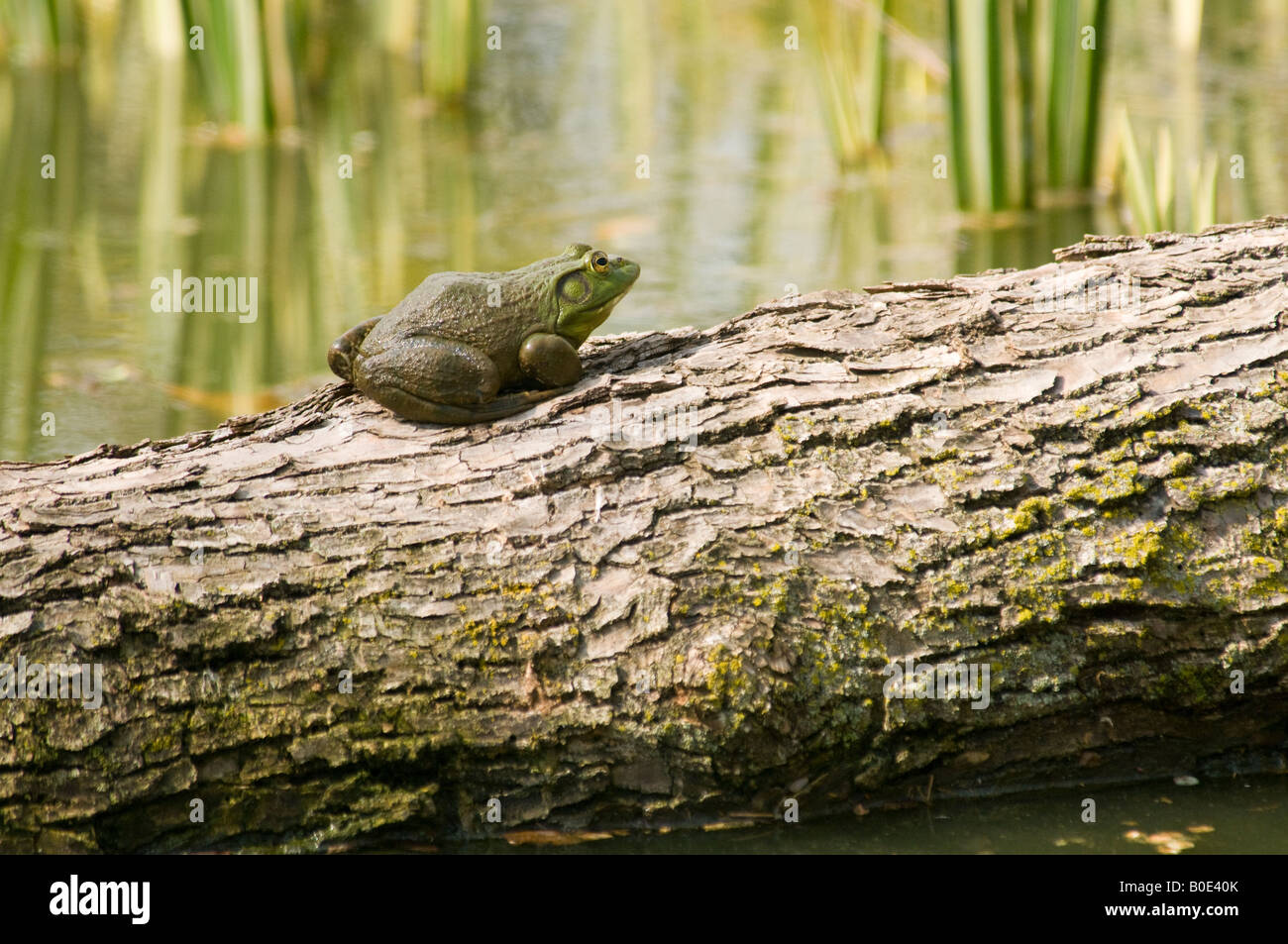 American bullfrog on log Stock Photo