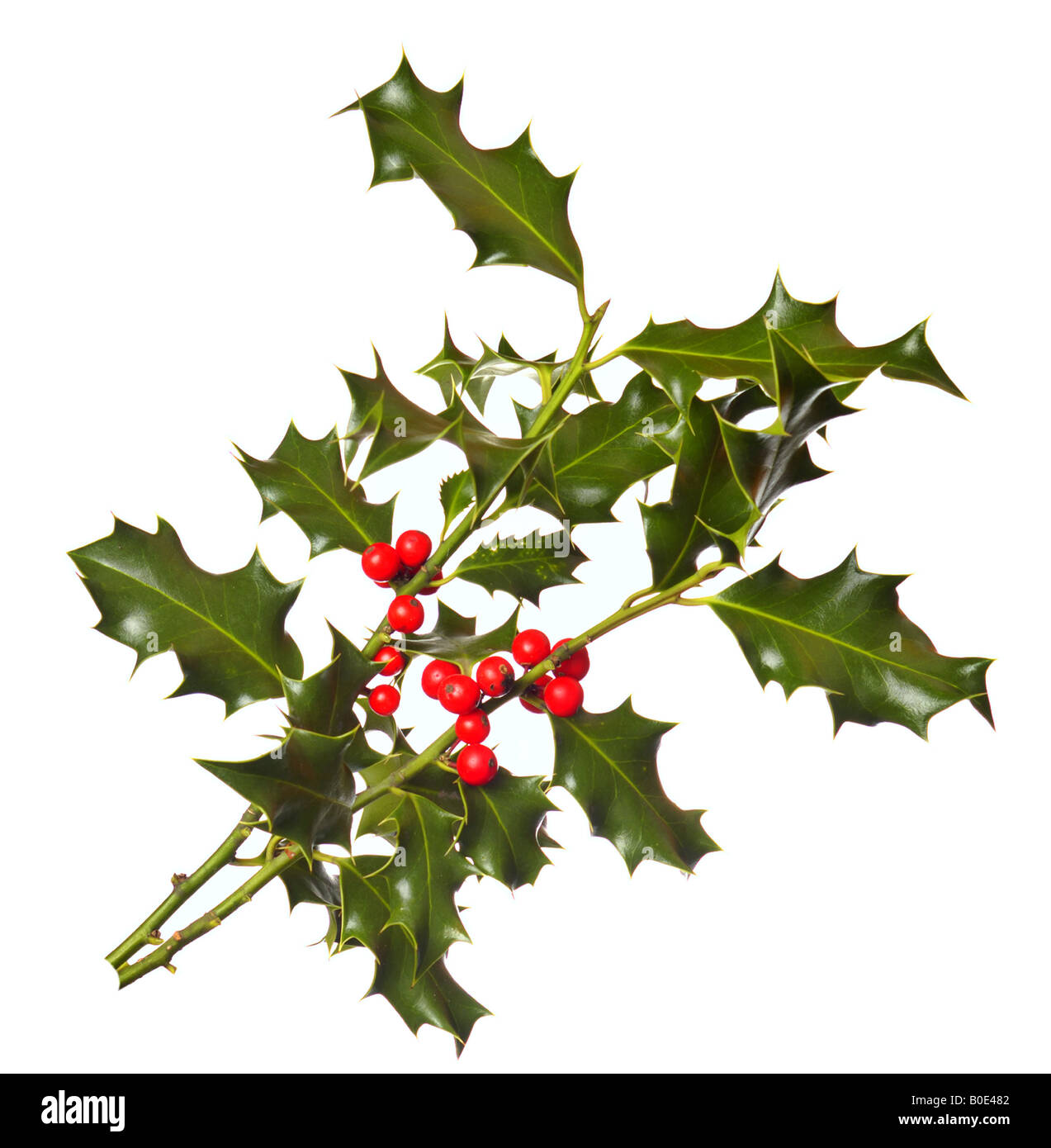 Two branches of real holly with red berries isolated on a white background - Stock Image