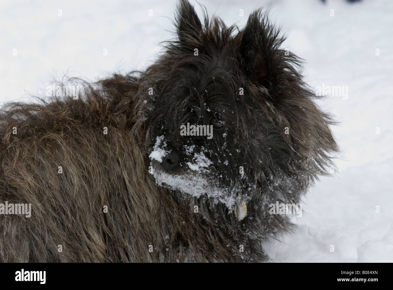 Red brindle Cairn terrier dog in snow with snowy face - Stock Image