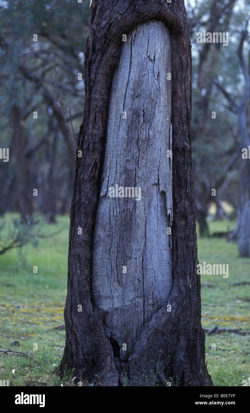 Aboriginal Canoe Tree Australia Bark Removed To Make