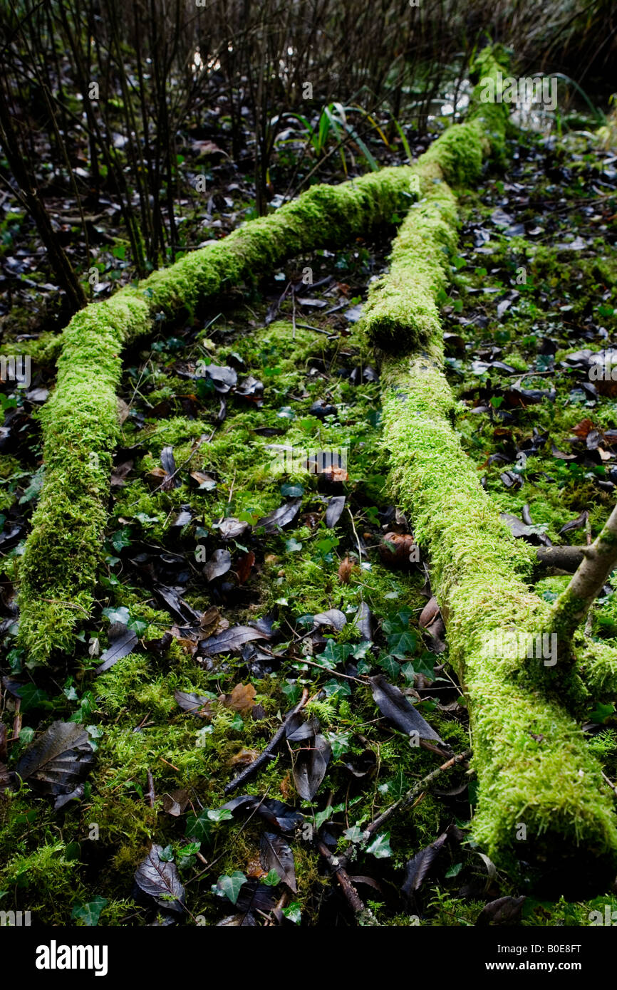 Moss covered log in forest near Medmenham, Buckinghamshire, England. Stock Photo